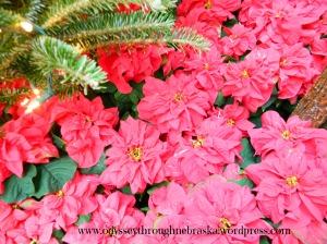 Lauritzen Gardens poinsettia flowers